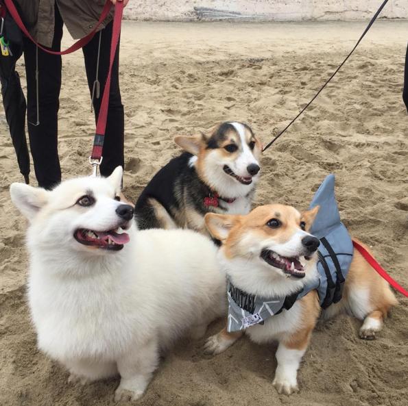 tres corgis sentados en la playa uno trae un flotador con aleta de tiburón