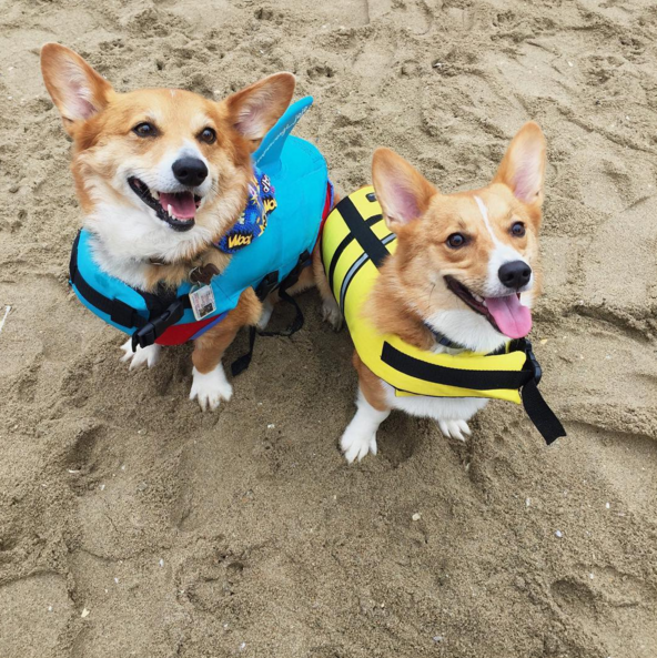dos corgis en la playa con flotador amarilloy azul