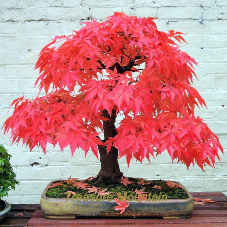 BONSAI ROJO MAPLE