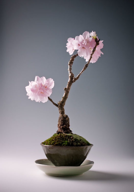 BONSAI CON CEREZO MINIATURA