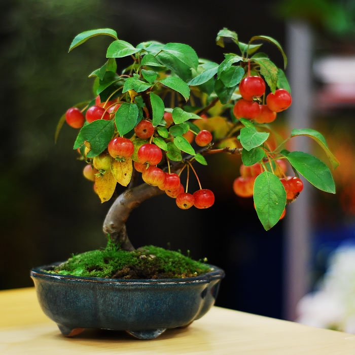 BONSAI DE MANZANO
