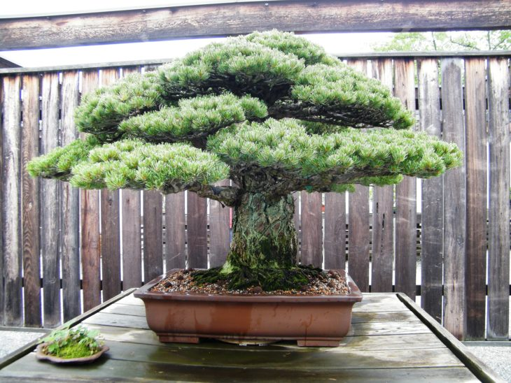 BONSAI GRUESO Y ANTIGUO