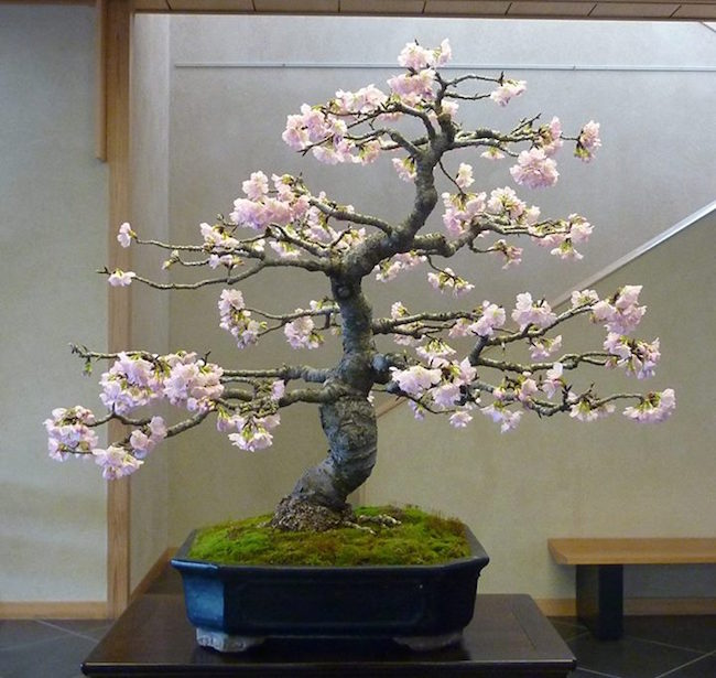 BONSAI DE CEREZO
