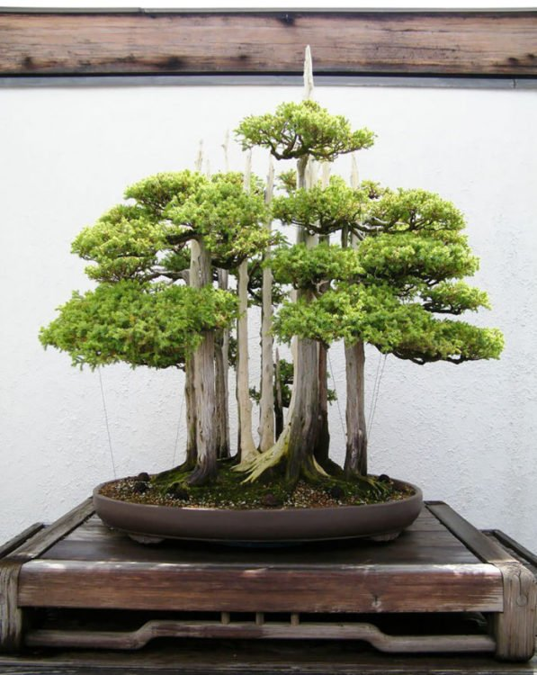 BONSAI DEL BOSQUE
