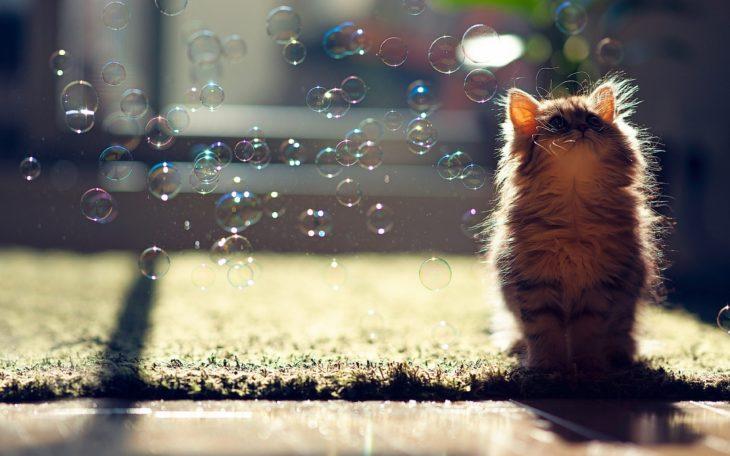 Fotografía de un gato bebé viendo burbujas