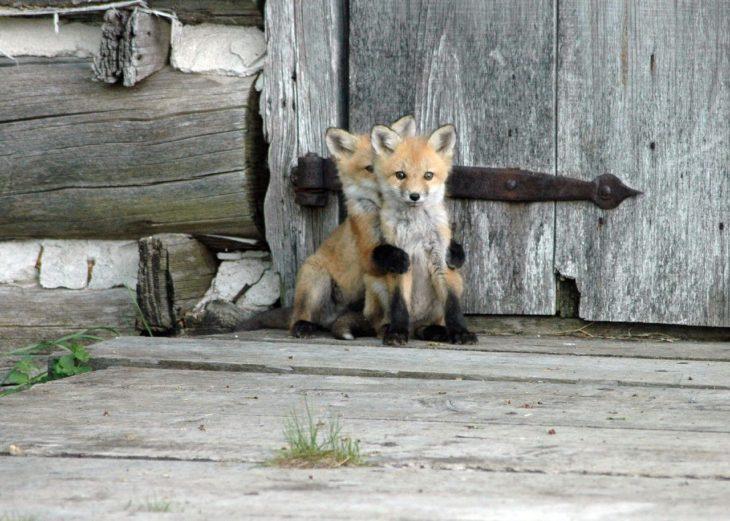 Foto de dos pequeños zorritos abrazados frente a una puerta de madera