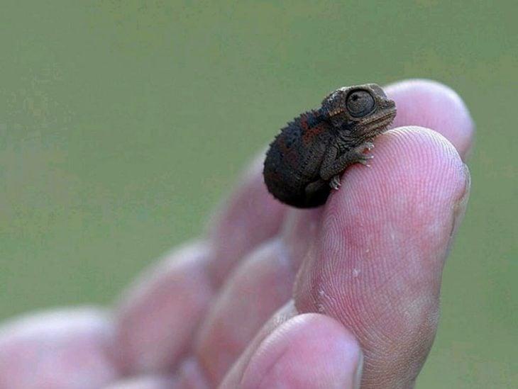 foto de un pequeño camaleón sobre la mano de una persona