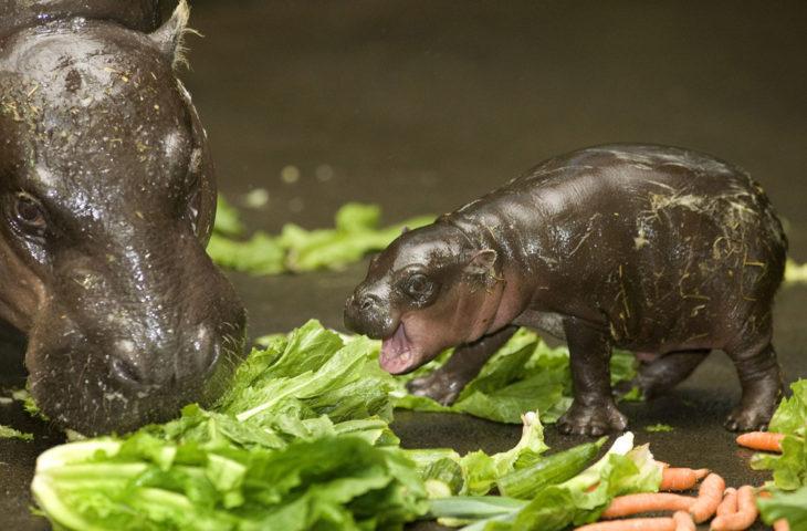 imagen de un hipopótamo bebé a lado de su madre
