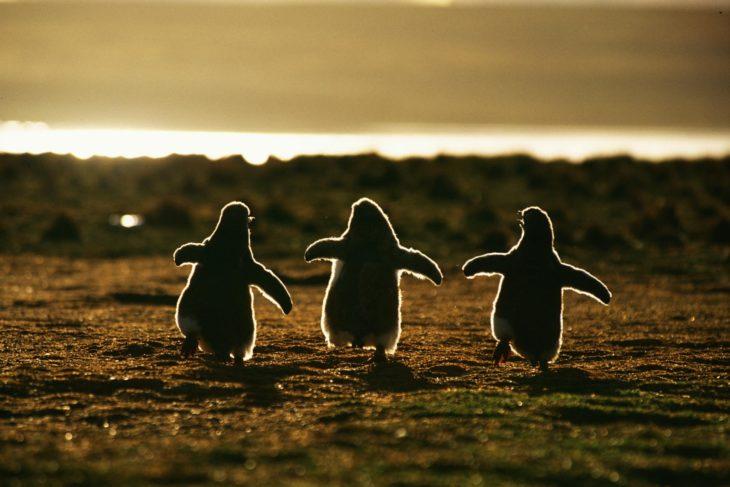 imagen de tres pingüinos corriendo al atardecer