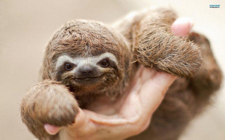 Foto de un perezoso bebé agarrado de la mano de una persona