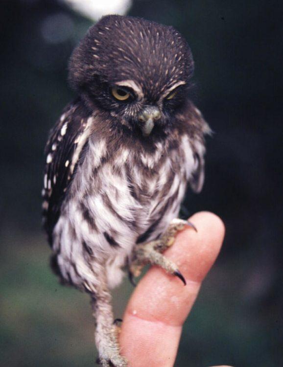 un búho bebé parado en el dedo de una persona