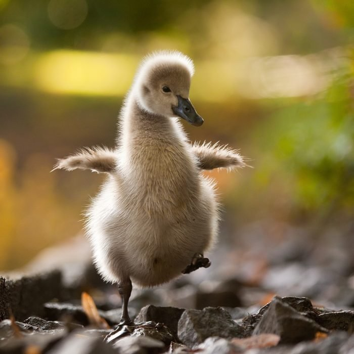 imagen de un pato mirando hacia la cámara