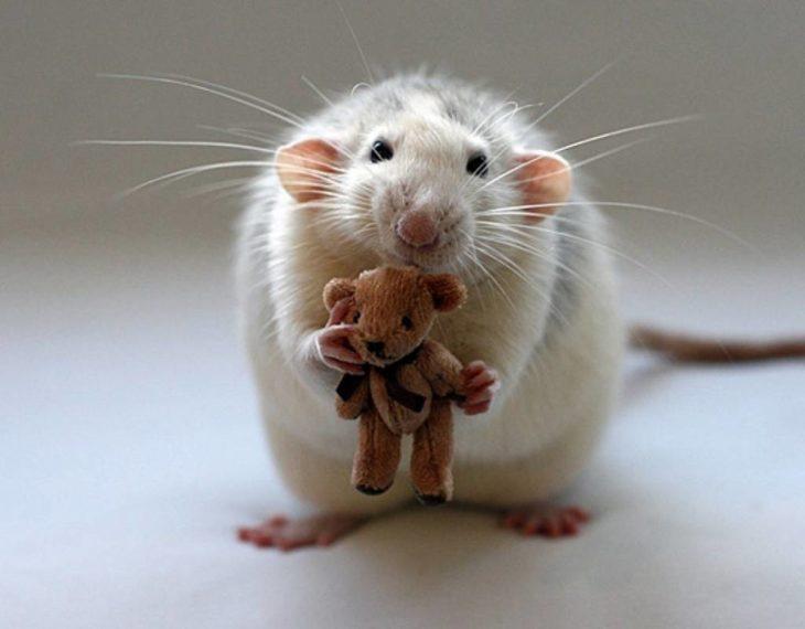Foto de una rata blanca con un pequeño oso de peluche en sus patas