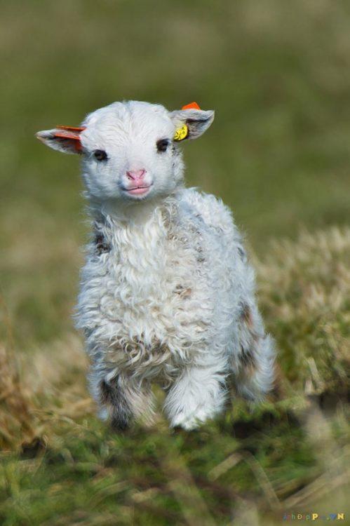 Fotografía de un borrego bebé corriendo por el pasto