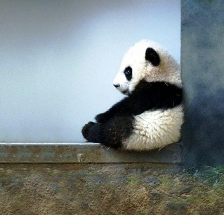foto de un panda bebé sentado en una ventana