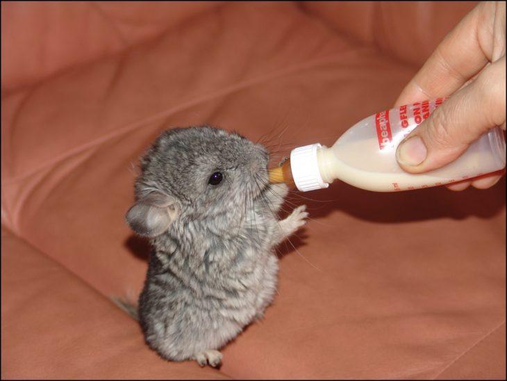 chinchilla bebé tomando biberón de la mano de una persona