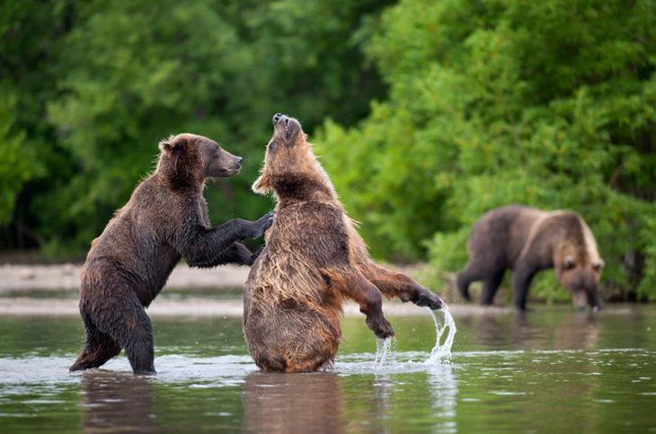 foto de un oso empujando a otro dentro del agua