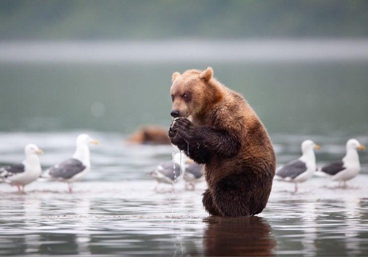 foto de un oso sorprendido comiéndose un pez