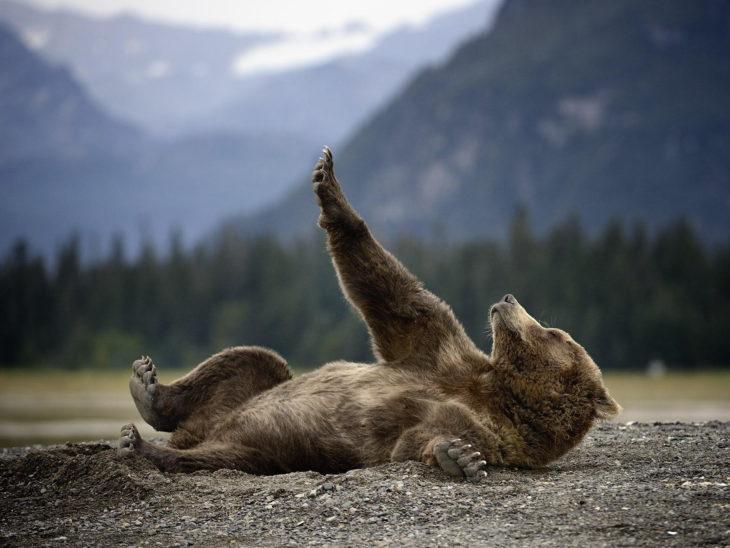 foto de un oso acostado sobre el suelo levantando una pata