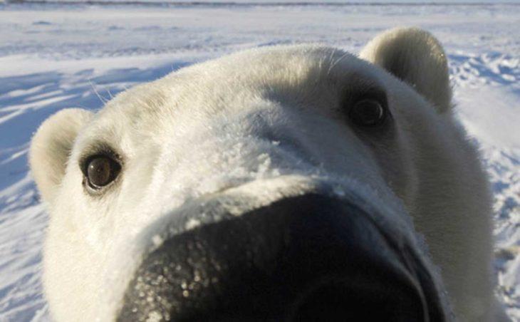 foto de la cara de un oso blanco muy cerca de la cámara