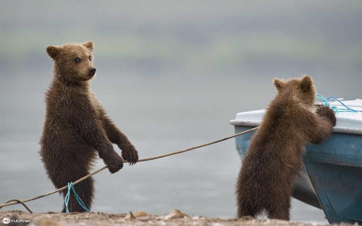 dos osos bebes jalando la cuerda de una lancha