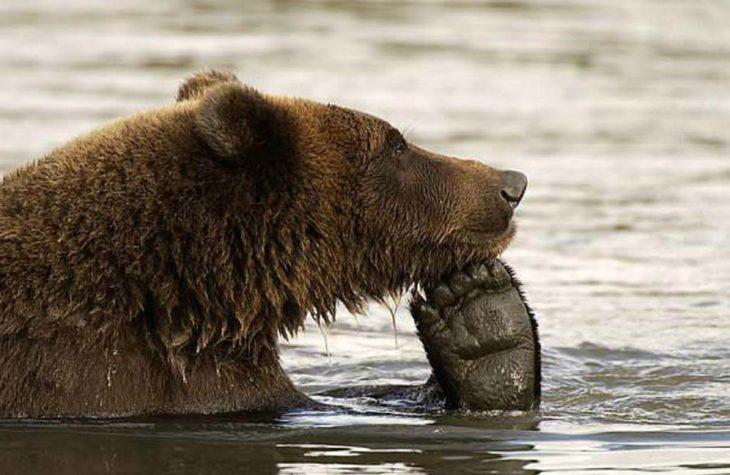 imagen de un oso dentro del agua con una pata sobre su hocico simulando que está pensando