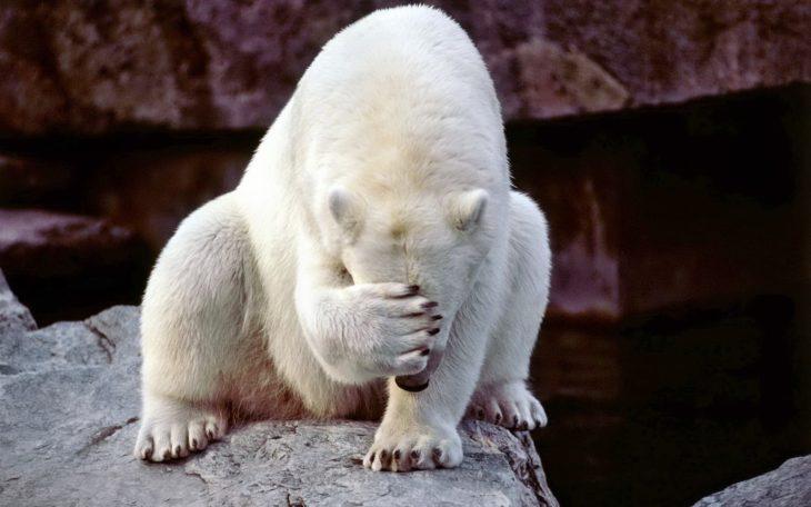 Foto de un oso blanco tapándose la cara con una pata