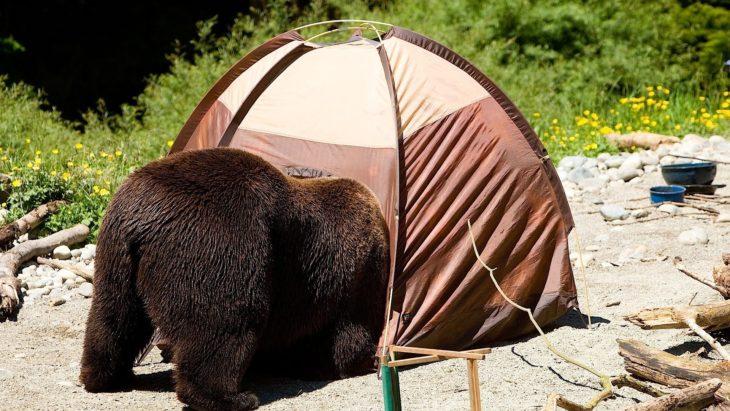 foto de un oso asomándose a una casa de campaña