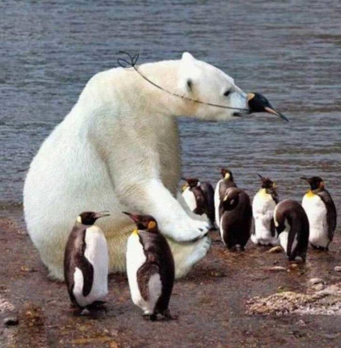 oso blanco rodeado de pingüinos