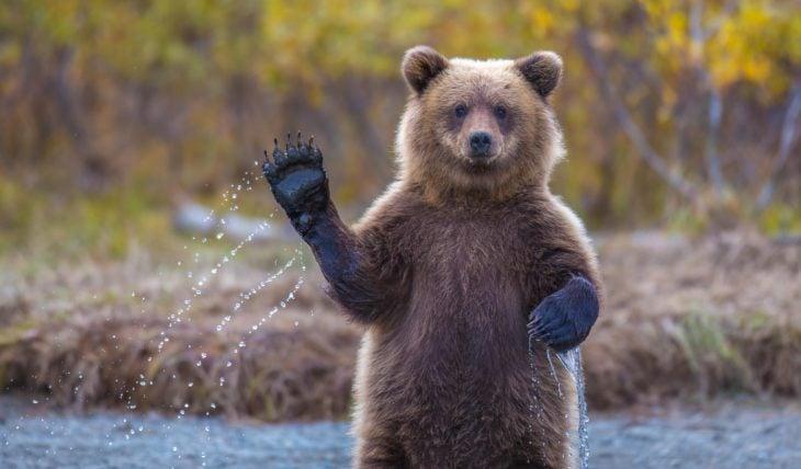 fotografía de un oso simulando que saluda con una pata