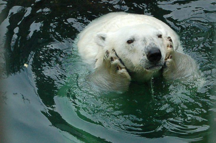 fotografía de un oso blanco dentro del agua agarrándose la cara con sus patas