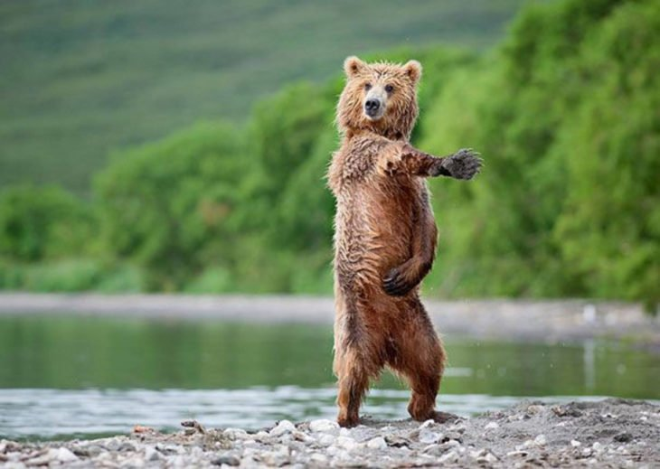 imagen de un oso cerca de un lago simulando que baila