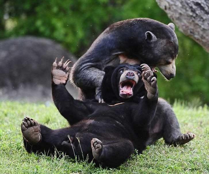 Foto de un oso arrastrando a otro sobre el piso