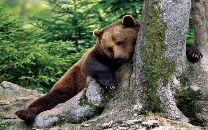 imagen de un oso acostado abrazando un árbol