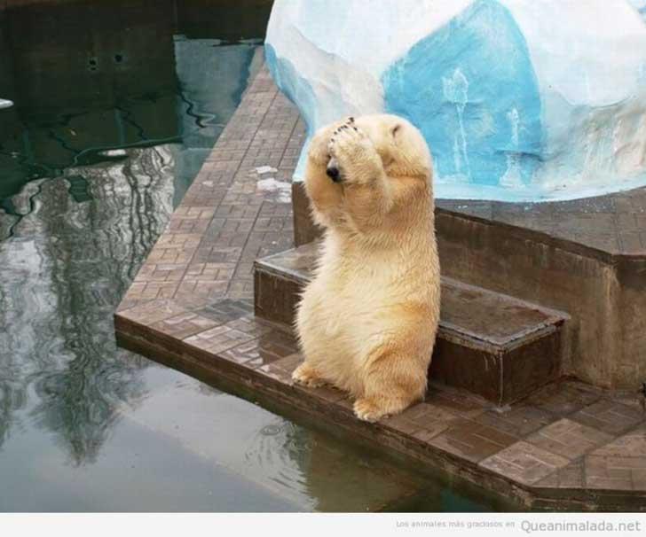 foto de un pequeño oso blanco a punto de saltar al agua