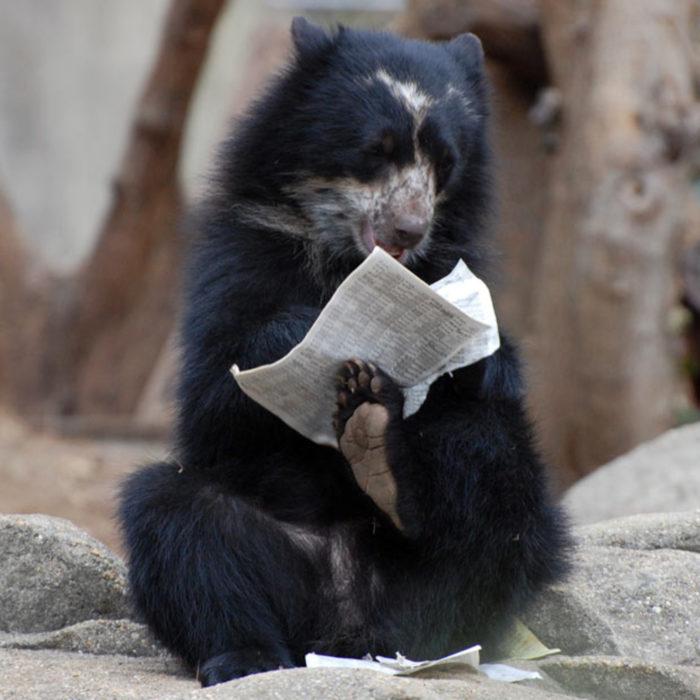 foto de un oso leyendo el periódico