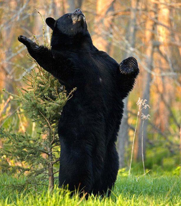 foto de un oso negro en una pose de declamación