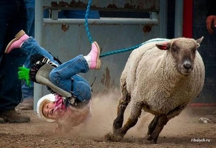 foto en el momento justo en que una niña se cae de una oveja