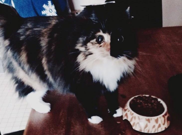 fotografía de una gatita frente a su plato de comida