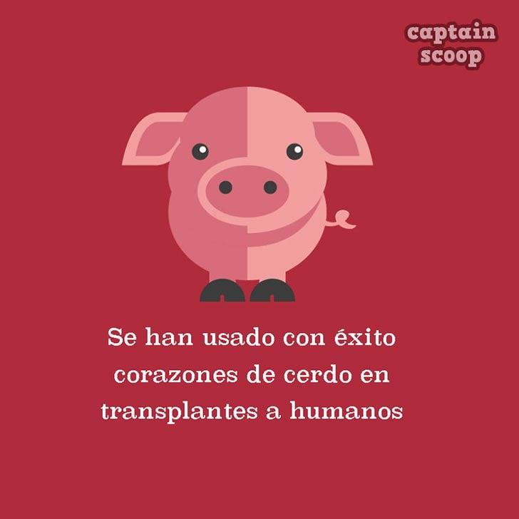 ilustración de un cerdo con datos importantes acerca de él
