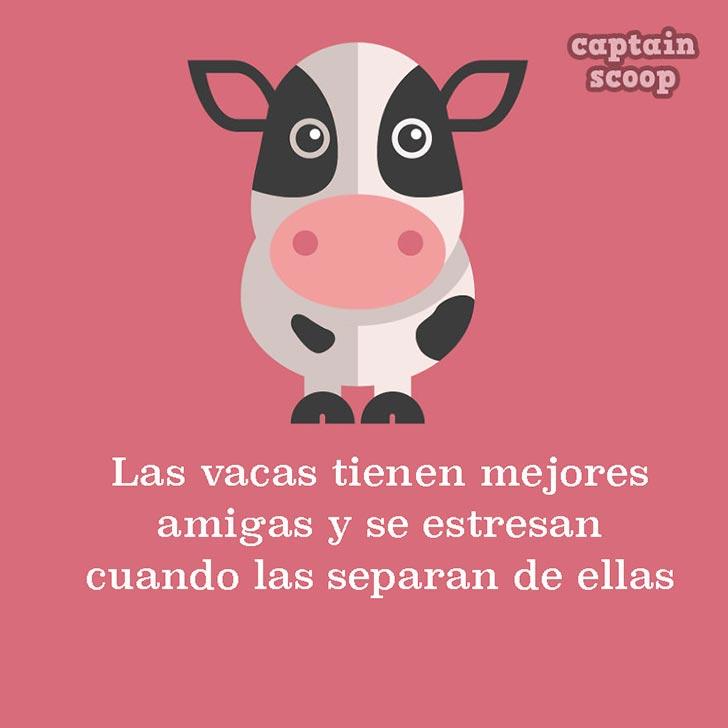 ilustración con un dato acerca de las vacas