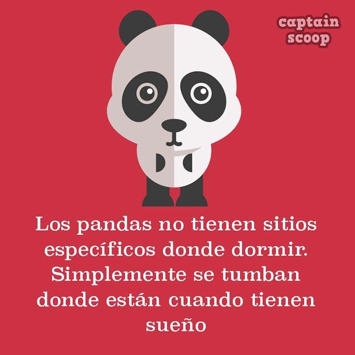 ilustración con datos acerca de los pandas