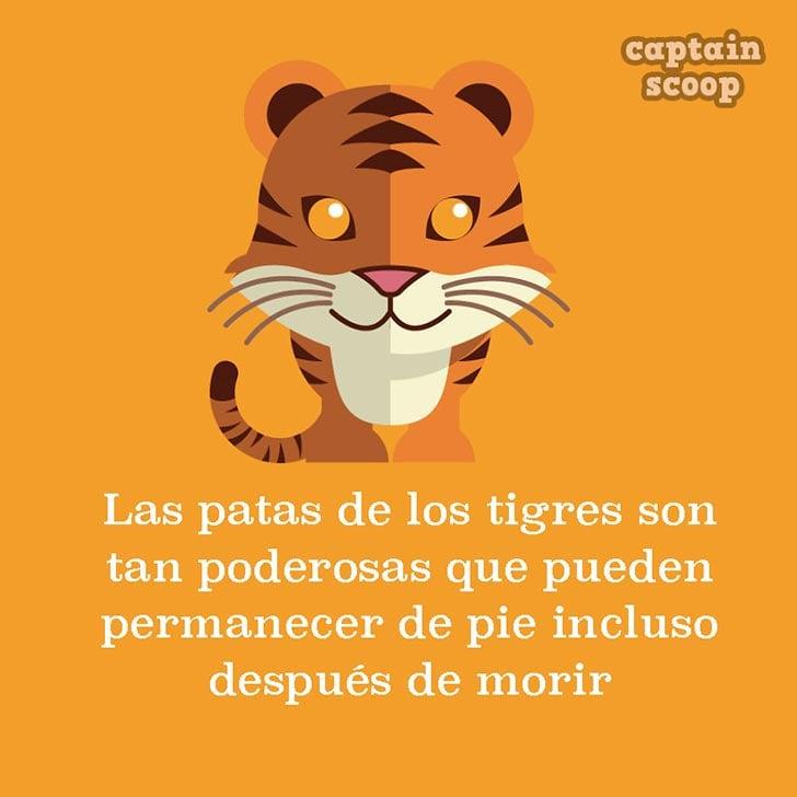 ilustración con datos acerca de un tigre
