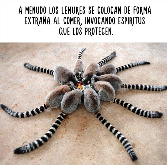 imagen con datos curiosos de los lemures