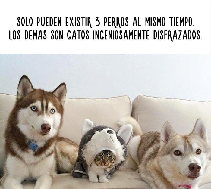 fotografía de dos perros huskies con un gato en medio