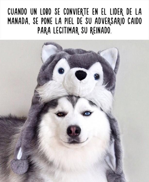 imagen de un perro con un dato curioso acerca de los lobos
