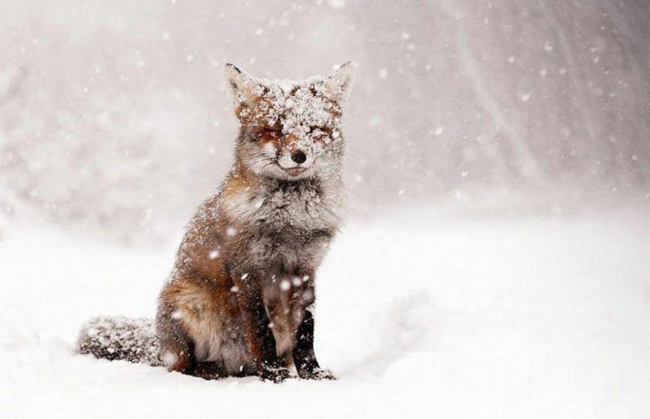 foto de un zorro en la nieve