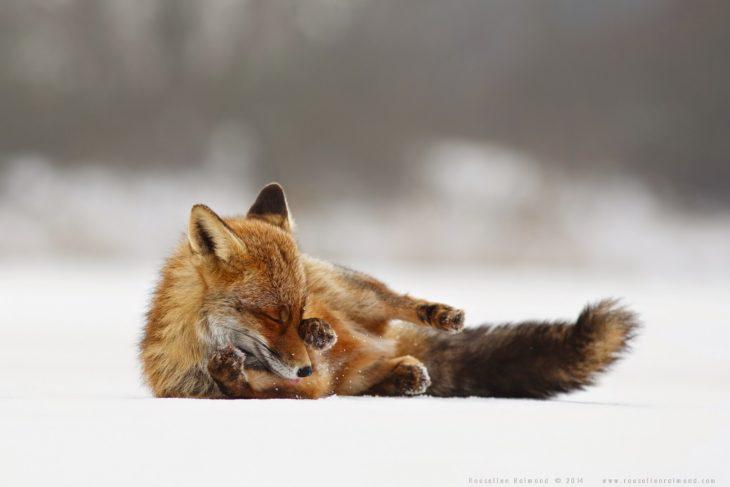 fotografía de un zorro acostado sobre la nieve agarrándose un ojo