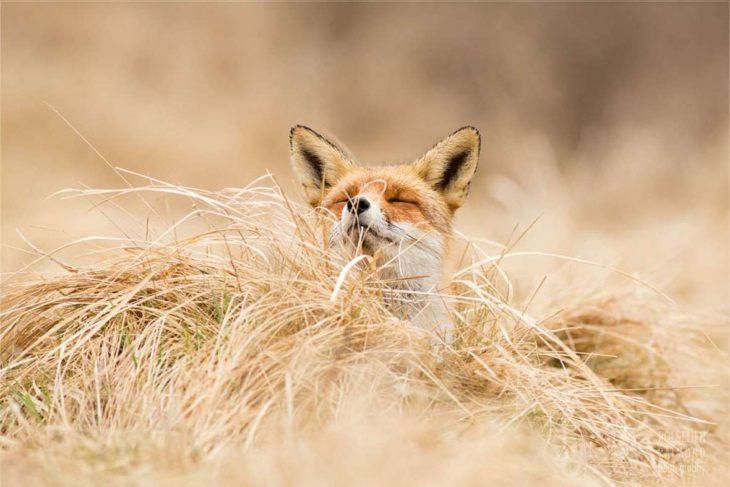 fotografía de un zorro sobre pastizal seco oliendo el aire fresco