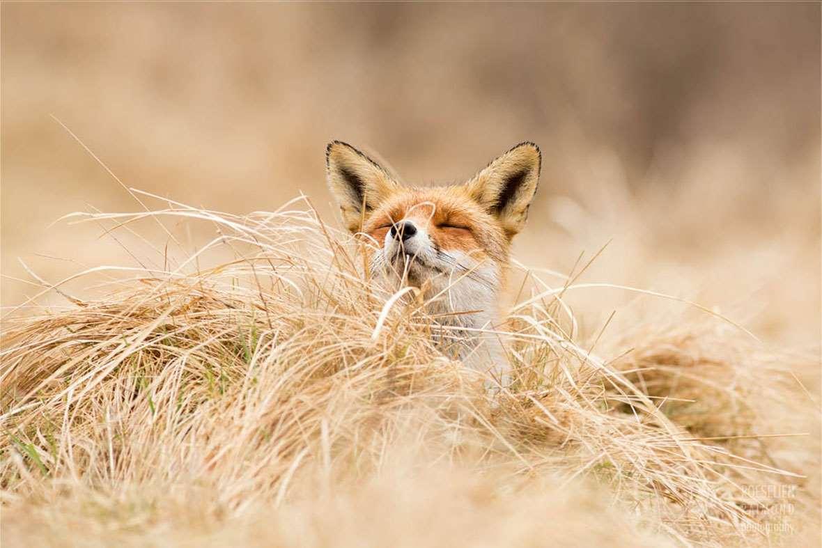 Roeselien Raimond Zen Fox